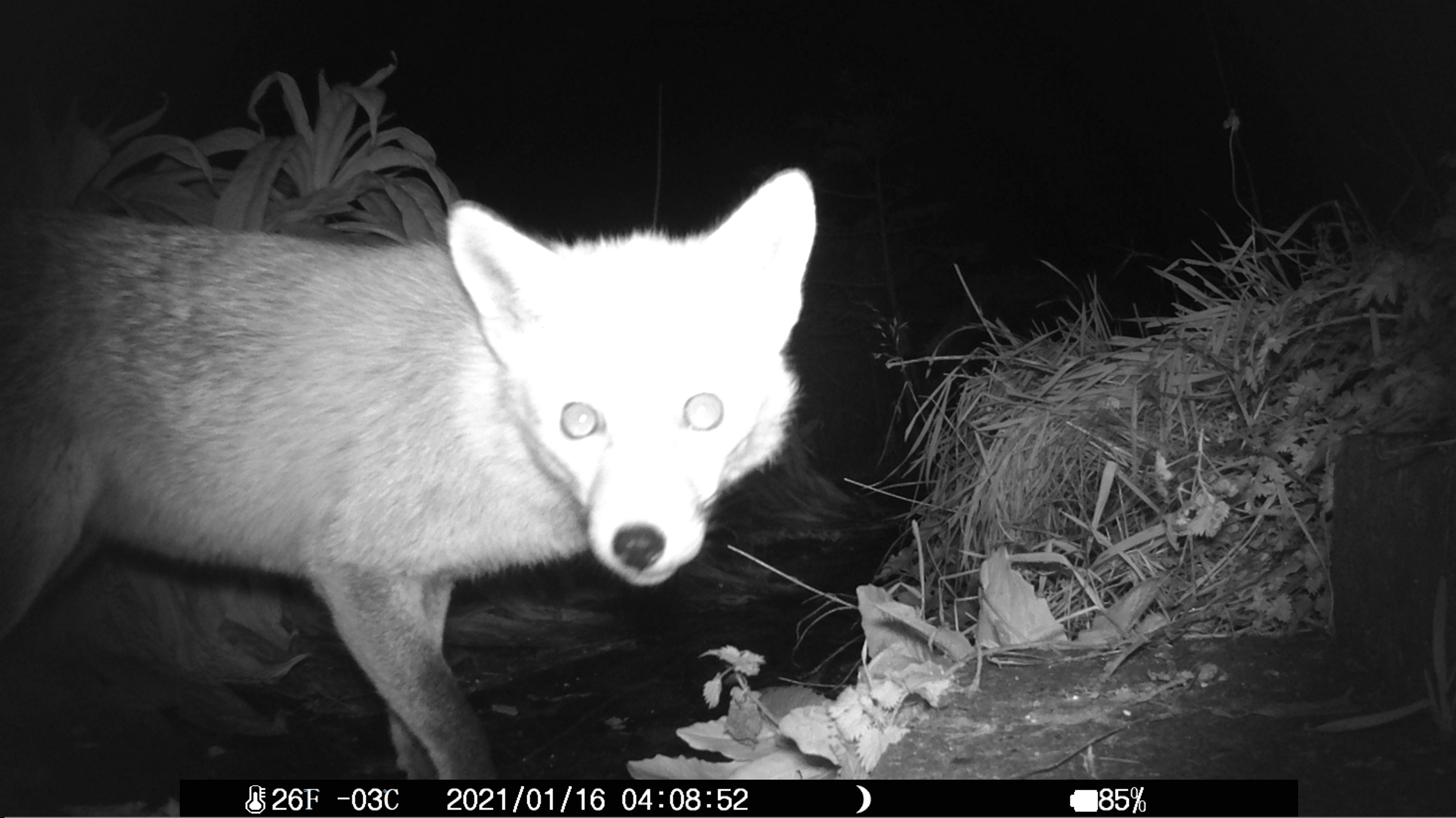 fox by nightcam