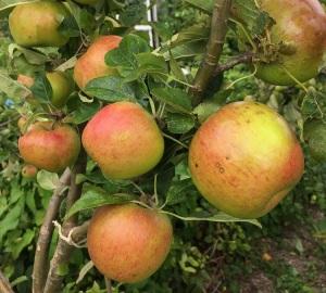 Apple Harvest photo(c)RogerDean